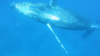Diving Alongside A Magnificent Humpback Whale - Video