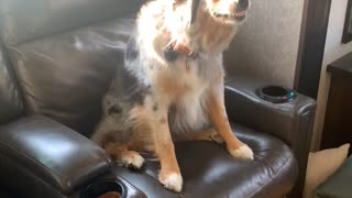 Australian Shepherd Smiles to Get Out of Trouble
