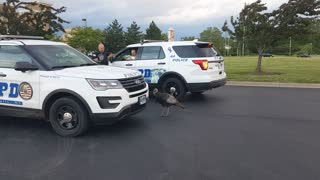 Turkey Chases Down Cop Car - Video