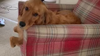 Golden Retriever caught sitting in chair watching the news