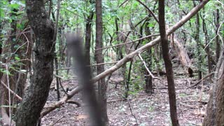 Chicago Woods Coyote - Video
