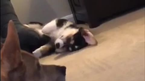 Black white dog corgi laying on back in distance of living room cant find comfortable position