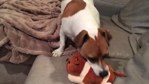 Dog tries to find squeaker in toy