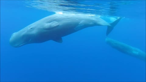 Diver in Portugal has up-close experience with Sperm Whales
