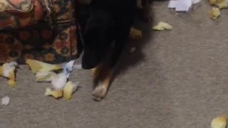 I cant believe what my Dog Merv has just done  - Video