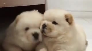 Stroking two small dogs - Video