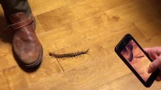 Texas Redhead Giant Desert Centipede - Video