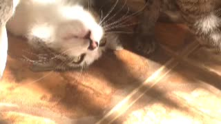 Cats playing - Video