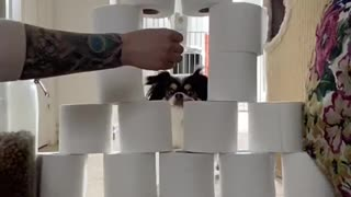 Daisy Jumps Through Toilet Paper Tower