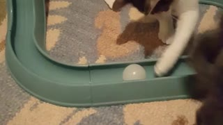 Cats playing with ball and end up going under table - Video