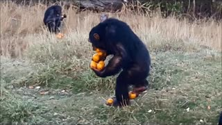 Skilled Chimp Carries A Dozen Of Oranges At Once With Ease - Video