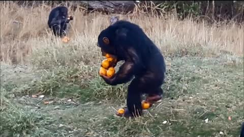 Skilled Chimp Carries A Dozen Of Oranges At Once With Ease