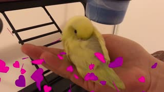Baby Parrotlet Fall Asleep In My Hand