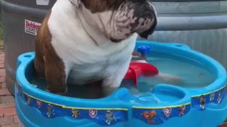 Overheated English Bulldog Cools Off In A Mini Water Table - Video