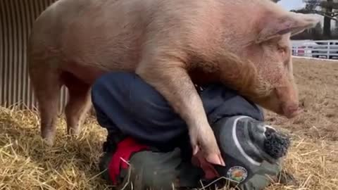 Playful pig climbs on top of man's back