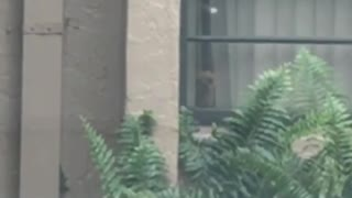 Small tan dog stares through window as owner leaves  - Video