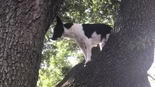 Black dog climbing down from tree