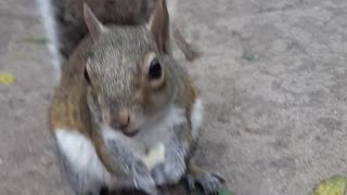 Hungry squirrel has no problem being hand-feed - Video