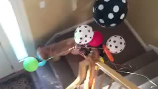 Brown dog runs downstairs with balloons - Video
