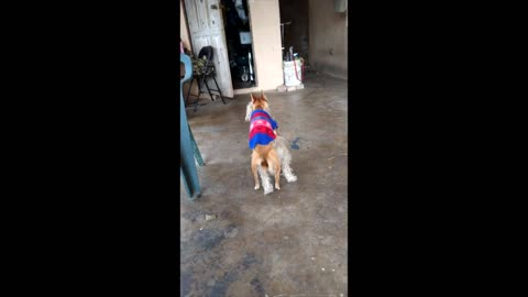 Little brown dog trying to get it on