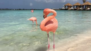 Beautiful flamingos  - Video