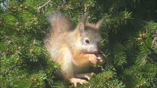 Baby squirrel´s Wind Ears - Video