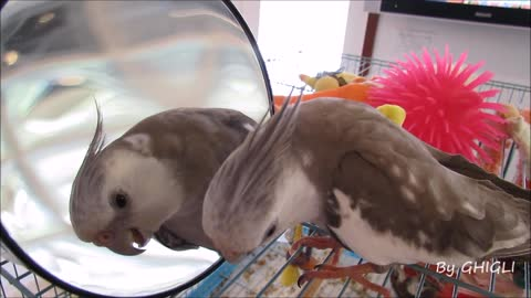 Cockatiel sings 'Happy Birthday' to his reflection