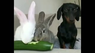 2 Rabbits Eat cucumber And A Dog waits Next To Them - Video