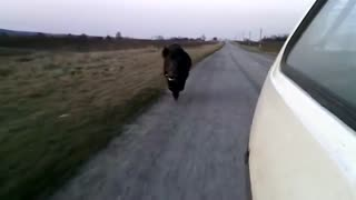 Wild boar chases after vehicle in Ukraine