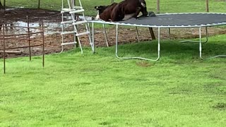 Curious Cow Gets Stuck in Trampoline