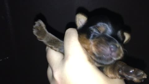 Yawning puppies are so cute