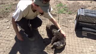 Cuddling Africa's most fearless animal! - Video