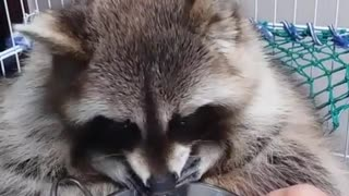 Classy raccoon cleans food before eating it - Video