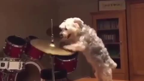 LOL This Dog is Talented In Drums