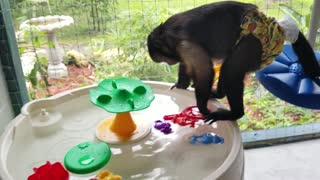 Monkey Playing in the Water on a Hot Day  - Video