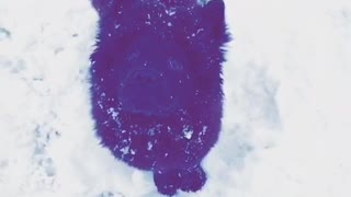Black dog gets snow dropped on head
