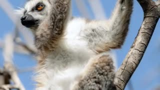 world of wildlife - Lemurs of Madagascar, Ring-Tailed Lemurs - Video