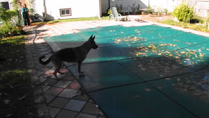 German Shepherd snatches ball from pool cover - Video