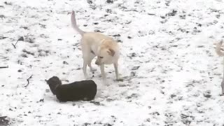 Black dog falls backwards snow yard two white dogs - Video