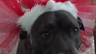 Christmas dog  - Video