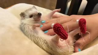 Tiny hedgehog chills out to relaxing massage