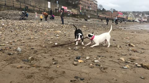 Bull Terriers play tug-of-war with a stick while visiting the beach