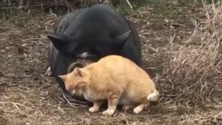 Friendly Pig Gets Endless Cuddles From A Feral Cat