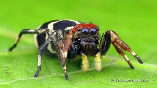 Arm-waving jumping spider is beautifully colorful