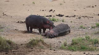 Strange Hippo Behavior Part 1 - Video