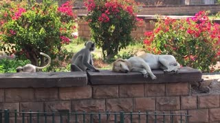 Wild Monkey Hilariously Pets Unsuspecting Sleeping Dog
