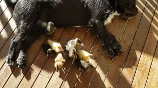 Black dog with ducks on back - Video