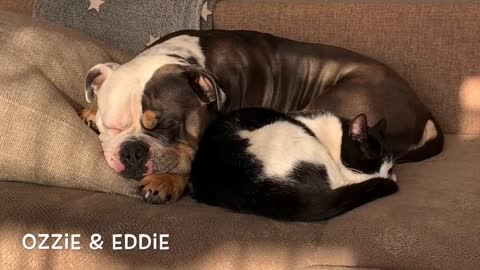 Ozzie the bulldog and Eddie the cat