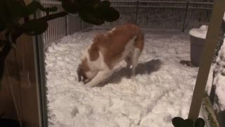 Saint Bernard experiences snow for the first time