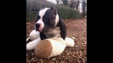 Stunning American Bully - morning fun - teddy bear breakfast